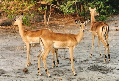 pictures of animal african deer habitat