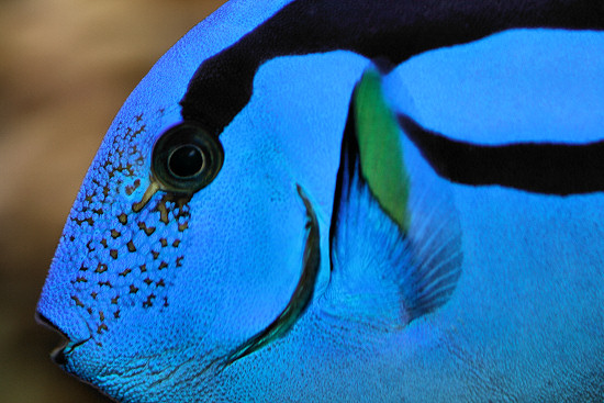 Living travel australia queensland fish of the great for Royal blue tang fish